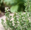 Marjoram, Sweet Essential Oil: Amber Bottle / Essential Oil: 10 mL