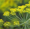 Fennel, Sweet Essential Oil: Amber Bottle / Essential Oil: 10 mL