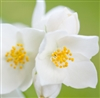 Jasmine Grandiflorum Essential Oil (3%): Amber Bottle / Essential Oil: 10 mL