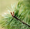 Pine Scotch Essential Oil: Amber Bottle / Essential Oil: 10 mL