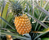 Pineapple Fragrance Oil: Amber Bottle 10ml