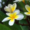 Frangipani Fragrance Oil: Amber Bottle / Fragrance Oil: 10 mL
