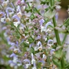 Clary Sage Essential Oil: Amber Bottle / Essential Oil: 10 mL
