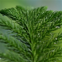 Balsam Fir Essential Oil: Amber Bottle / Essential Oil: 10 mL