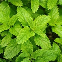 Lemon Balm Essential Oil: Amber Bottle / Essential Oil: 10 mL