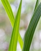Lemongrass Essential Oil: Amber Bottle / Essential Oil: 10 mL