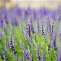 English Lavender: Amber Bottle / Fragrance Oil: 10 mL