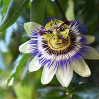 Passionflower Fragrance Oil: Amber Bottle / Fragrance Oil: 10 mL