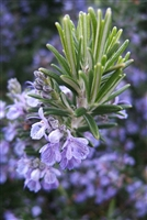 Rosemary: Bulk / Organic Whole Rosemary Leaf