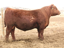 Red Angus Game Changer