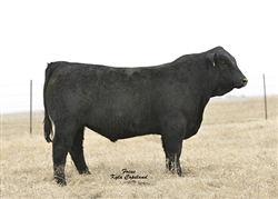 Simmental Pasque 4331B