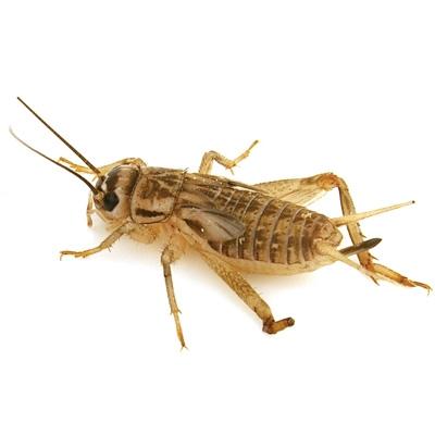 Crickets%20250-2.jpg