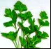 Giant Flat Leaved Parsley