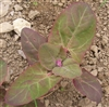 Red Orache/(mountain) Spinach
