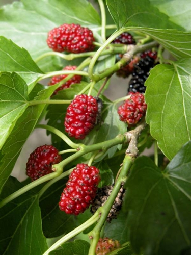 Red mulberry for Mullberry home