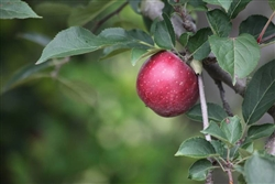 Common Apple