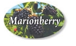 Marionberry Flavor Label - 1.25 in. x 2 in.