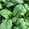 Bloomsdale Non GMO Spinach Seeds