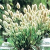 Bunny Tail Grass Seeds