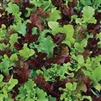 Gourmet Lettuce Salad Mix Seeds
