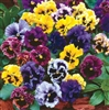 Frilly Pansy Seeds