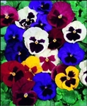 Swiss Giant Pansy Seeds