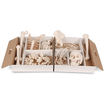 Disarticulated Half Anatomical Skeleton Model, with 3-Part Skull and loose articulated hand and foot A04-1