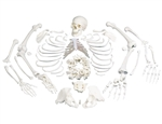Disarticulated Full Anatomical Skeleton Model with 3-part Skull - A05-1