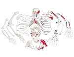 Disarticulated Skeleton with Painted Muscles - A05-2