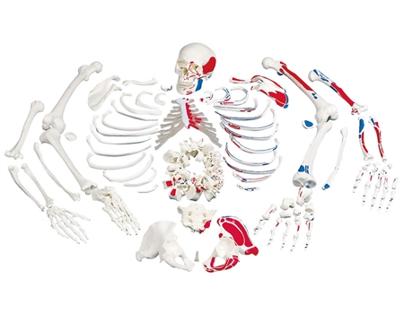 Disarticulated Full Human Skeleton, painted muscles, with 3 part skull A05-2