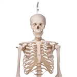 3B Scientific A10-1 Human Skeleton Model  Stan - on hanging stand,  5 foot roller caster