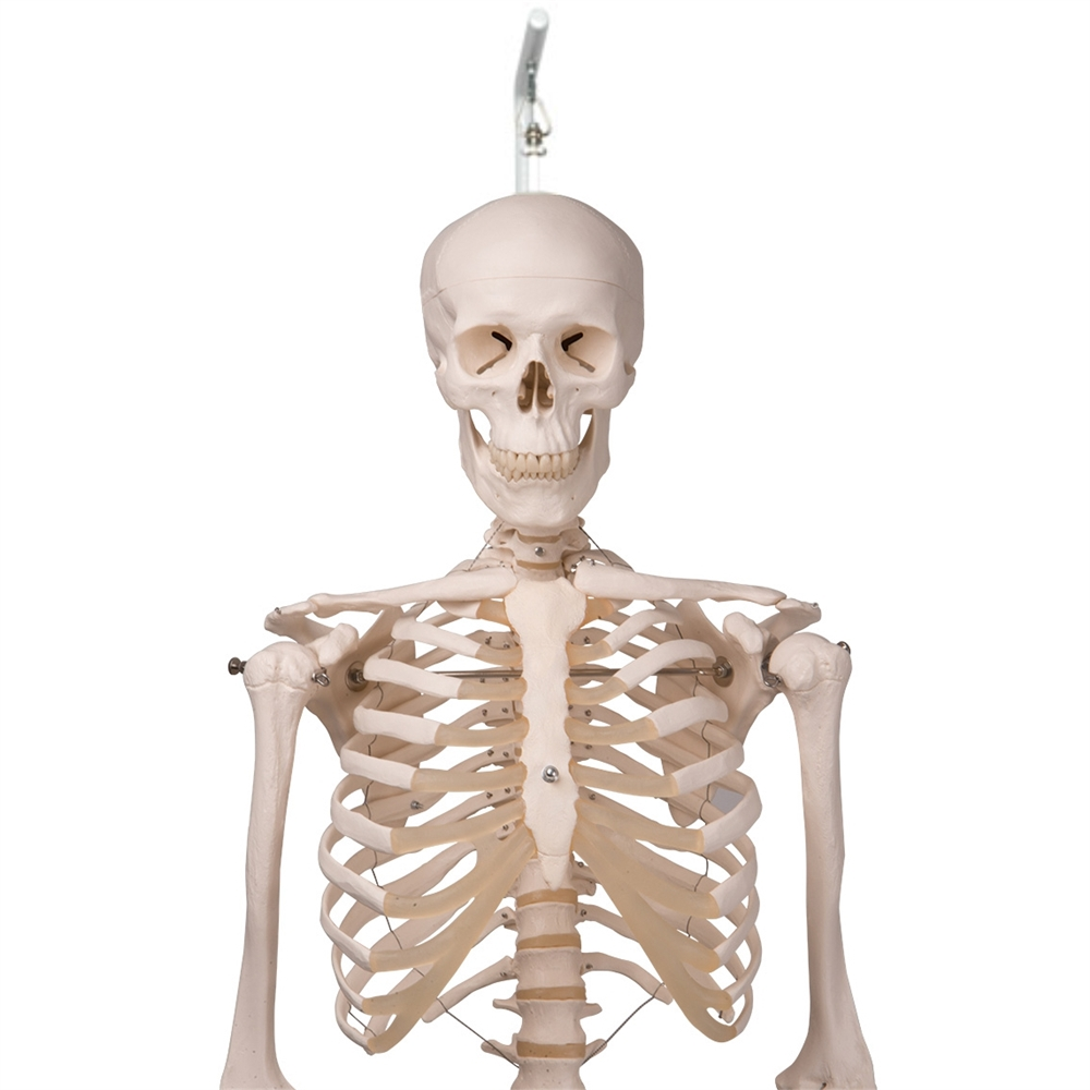 human skeleton model stan on hanging stand 5 foot roller caster