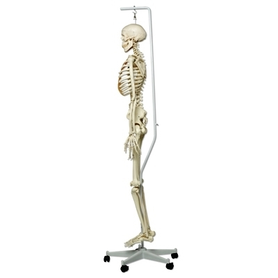 Human Skeleton Model Stan On Hanging Stand 5 Foot Roller Caster
