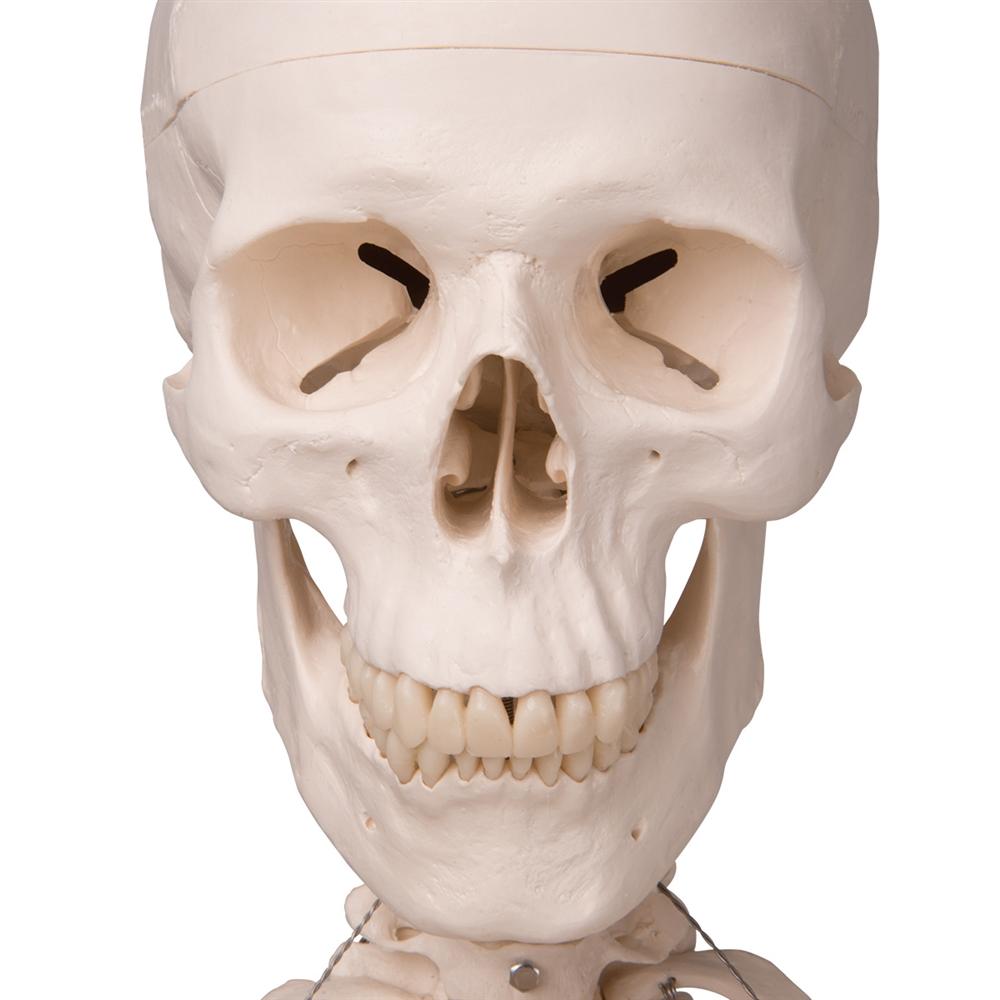 human skeleton model - stan - on hanging stand, 5 foot roller caster, Skeleton