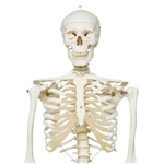 Stan Skeleton Model on Pelvic Stand - A10