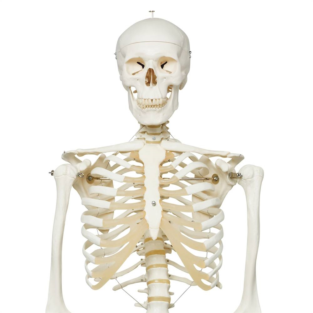Human Skeleton Model Stan Anatomical Skeleton Model