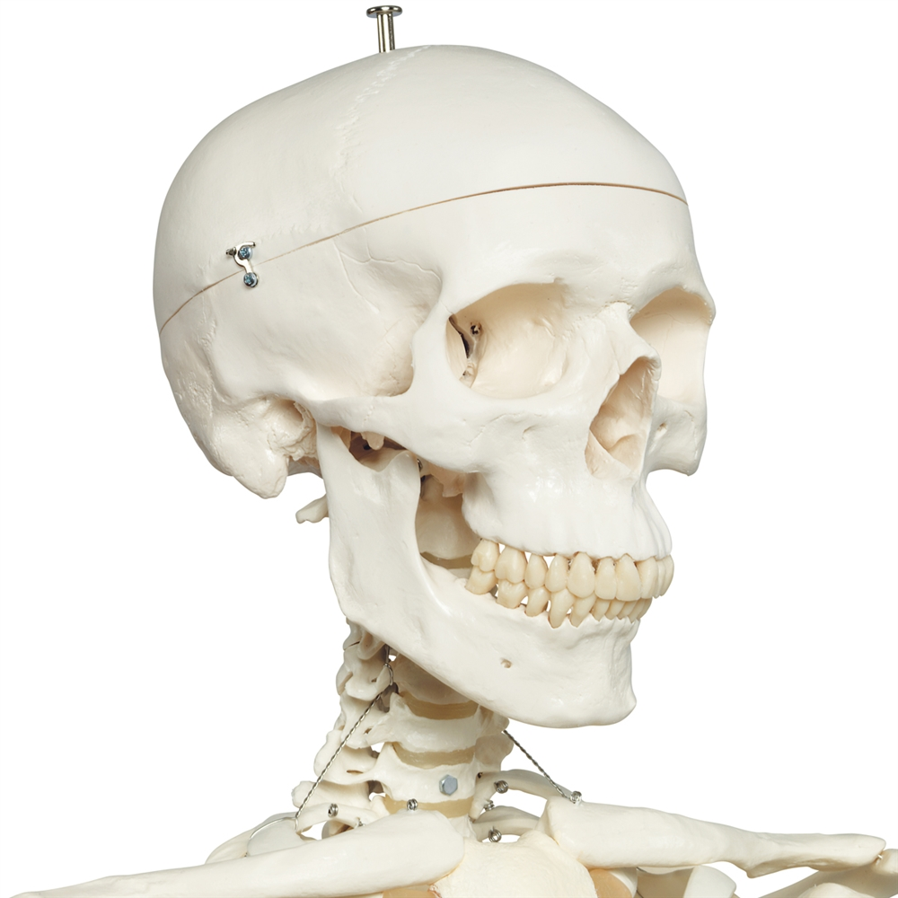 Stan Skeleton Model On Pelvic Stand