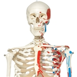 Max Skeleton with Painted Muscle Origins and Inserts on Hanging Stand - A11-1