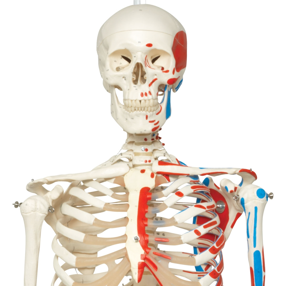 Max Skeleton With Painted Muscle Origins And Inserts On Hanging Stand