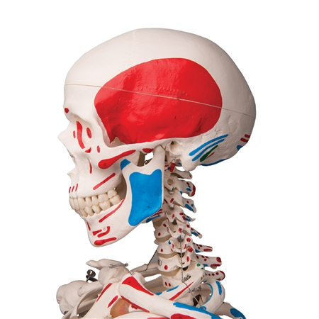 Max Skeleton with Painted Muscle Origins and Inserts on Pelvic Stand - A11