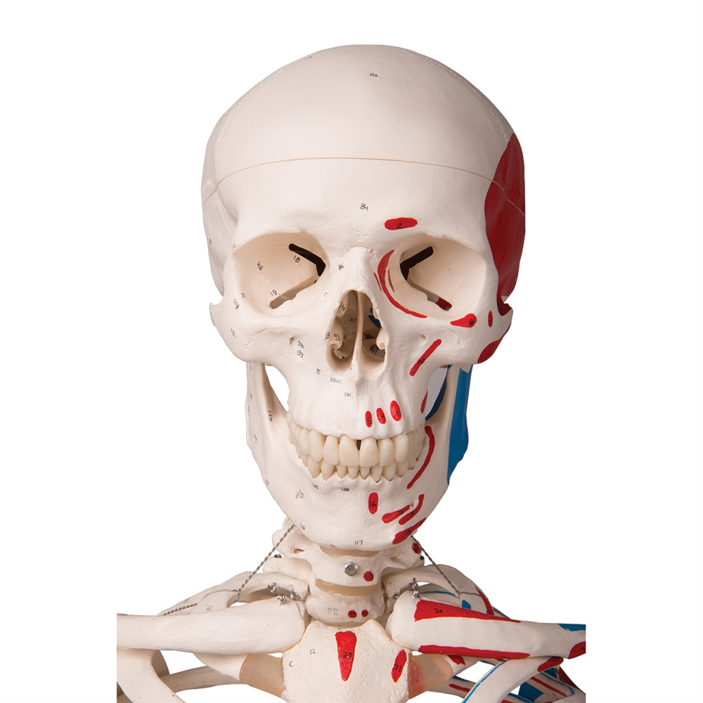 Max Skeleton With Painted Muscle Origins And Inserts On Pelvic Stand