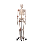Skeleton Model with Ligaments - Leo - A12