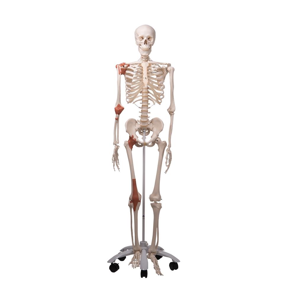 Skeleton Model With Ligaments Leo
