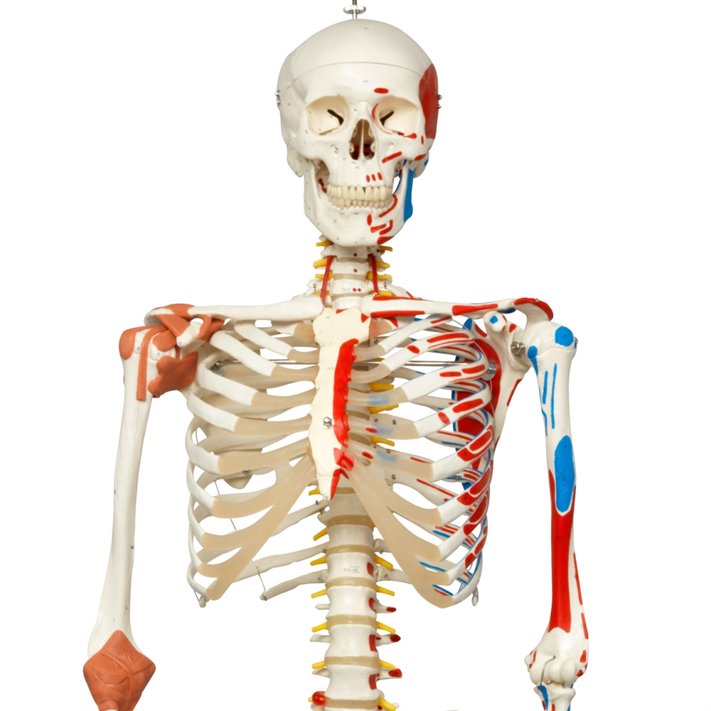 Skeleton Model Sam with Muscles and Ligaments, Hanging Stand