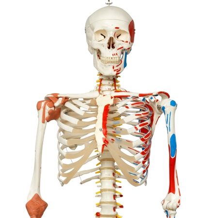 Sam Skeleton with Muscles and Ligaments on Hanging Stand - A13-1