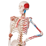 "Sam the Super Anatomical Skeleton Model, with pelvic roller stand A13 | Super Human Skeleton Model ""Sam"" - Flexible with Muscles and Ligaments on a Pelvic Mounted Stand"