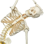 Fred Flexible Anatomical Skeleton Model, on 5 feet roller stand A15