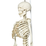 Physiological Skeleton Model | Physiological Human Skeleton Model | Physiological Human Skeleton Model Phil  | 3B Scientific Physiological Human Skeleton Model Phil A15-3 | Buy 3B Scientific Physiological Human Skeleton Model Phil A15-3 On Sale