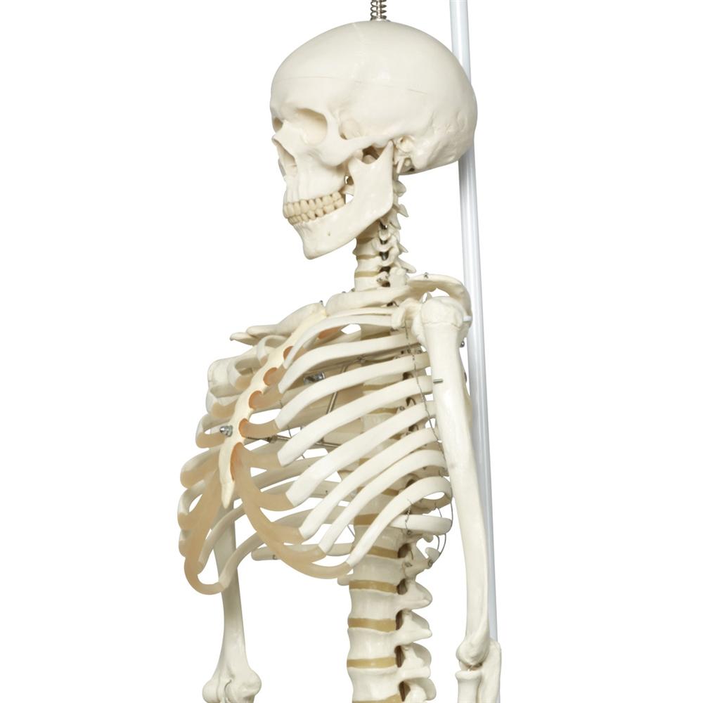 phil the physiological skeleton model, on hanging roller stand, Skeleton