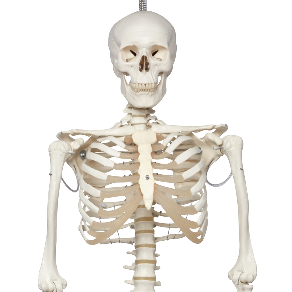 Phil The Physiological Skeleton Model, on hanging roller stand